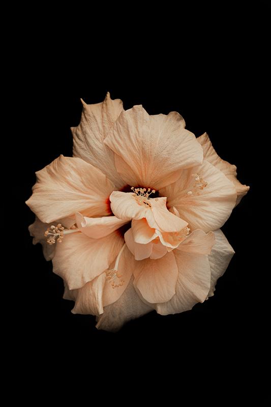 HBulan Hibiscus