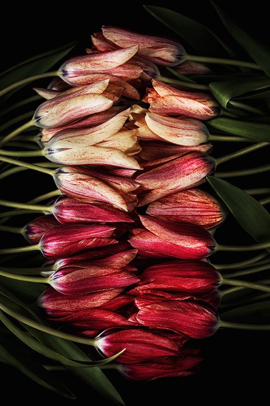HBulan Tulips