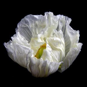 Amapola - Fatal Flora