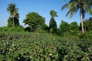 Timberland Community Cotton field